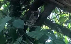 Saltan de un árbol a otro; reportan plaga de ratas en Torreón