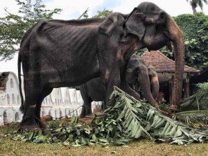 Desgarradoras fotos de elefanta desnutrida que usarán en festival de Sri Lanka