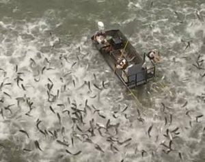 Electrocutan peces para acabar con su sobrepoblación