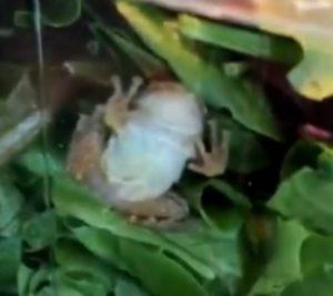 Encuentran a una rana viva dentro de su ensalada