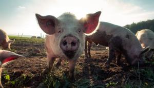Trasplantar un corazón de cerdo a humano sería posible en 3 años: cirujano