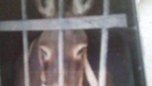 Arrestan y encarcelan a un burro en Oaxaca