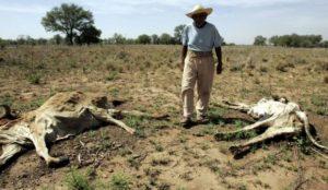 Pierden ganado por la sequía