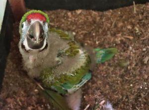 Nace en Ciudad Victoria primer cría de Guacamaya Verde en cautiverio