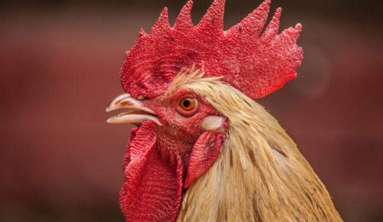 Gallo mató a una anciana a picotazos en Australia