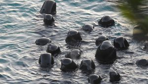 Manada de delfines se agrupa para darse apoyo antes de ser sacrificados