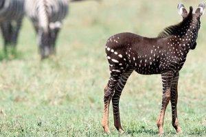 Nace una cebra con puntos en vez de rayas