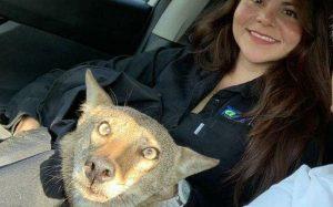 Tamaulipeca confunde a coyote con perrito y lo rescata