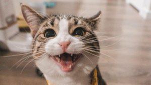 Tu gato maúlla solo para manipularte