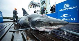 Captan a tiburón blanco gigante en el Golfo de México