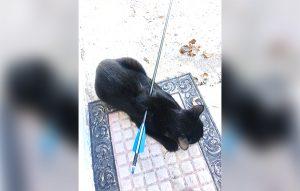 Confirman en Reynosa caso de gato atravesado con una flecha