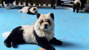 Polémica por teñir perros para que parezcan bebés pandas en café de China