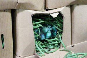 Confiscan paquetes de marihuana en chiles jalapeños en EU
