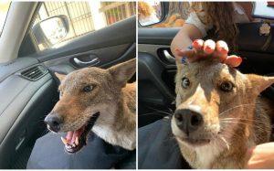 Fallece 'Pancho', el coyote rescatado en Tamaulipas