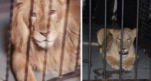 VIDEO: Encuentran armas, droga y hasta leones en bar clandestino de Mexicali