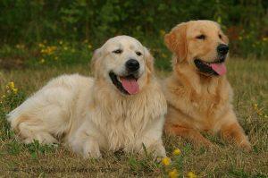 Ofrecen 41 mil dólares por cuidar dos Golden Retrievers y vivir en Londres