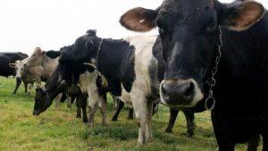Vacas perdidas tras paso de huracán Dorian son localizadas vivas