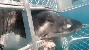VIDEO: Un tiburón impacta contra una jaula con buzos dentro