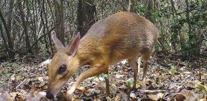 El ciervo ratón se creía extinto; reaparece después de 25 años