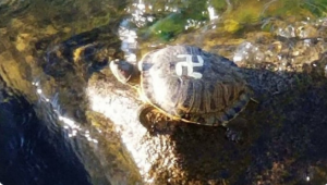 Pintan símbolo nazi en el caparazón de varias tortugas