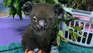 Muere Lewis, el koala rescatado de un incendio forestal