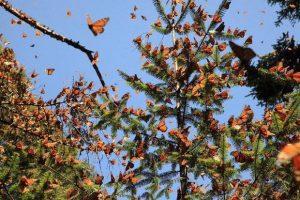 VIDEO: Abre santuario de la mariposa monarca en Michoacán