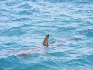 Reportan supuesta presencia de tiburones en Playa Miramar