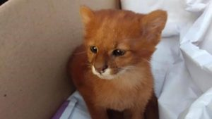 Joven rescata gatito y resultó ser un puma
