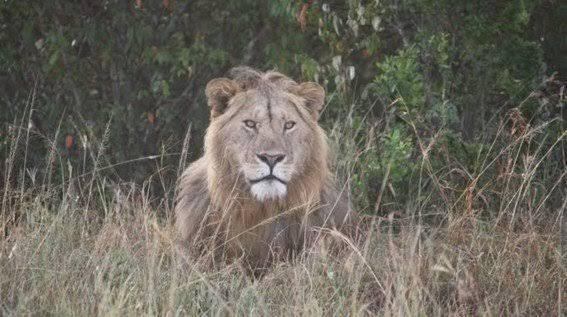 León escapa de una reserva ecológica y mata a 30 perritos
