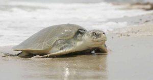Detienen en Oaxaca a una persona con más de 17 mil huevos de tortuga