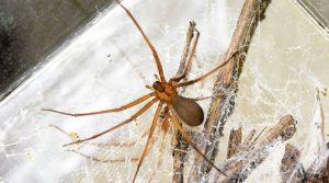Descubren en México nueva especie de araña violonista