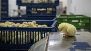Francia prohibirá triturar pollitos vivos y otras prácticas crueles