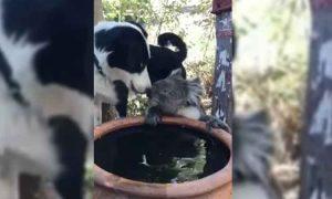 Conmovedor: perro y koala comparten agua durante sequía en Australia (VIDEO)