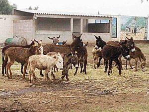 El burro mexicano se extingue; máquinas les quitan trabajo