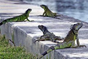 Pronostican en EU 'lluvia' ¡de iguanas!