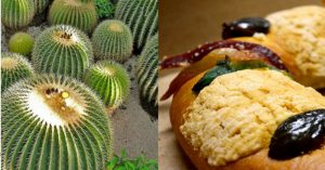 Cactus mexicano podría desaparecer por rosca de reyes