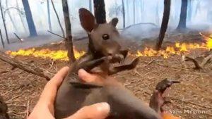 VIDEO: Rescatan a cría de canguro en Australia