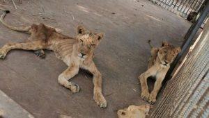 León desnutrido y enfermo muere en zoológico de Sudán; hay 4 más en malas condiciones