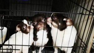 Desmantelan criaderos ilegales de perros chihuahuas; cortaban sus cuerdas vocales