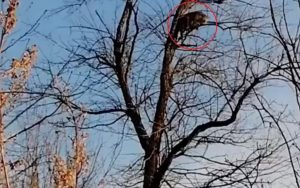 Leopardo se refugia en un árbol para escapar de un perro (VIDEO)
