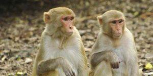 Infectan a monos para encontrar vacuna contra el coronavirus
