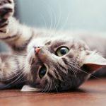 App asegura traducir maullidos de gato, podrás hablar con él