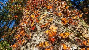 Persiste tala en la Reserva de la mariposa Monarca