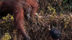 Orangután intenta ayudar a hombre a salir de río infestado de serpientes