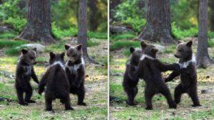 """Inquietan imágenes de tres ositos """"bailando"""" en un bosque de Finlandia"""