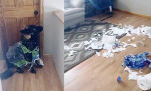 Compró papel higiénico para cuarentena y su perro lo destrozó