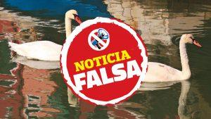 Foto de cisnes en Venecia resultó ser falsa