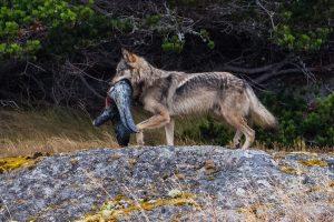 Matan a 'Tacaya', el lobo más famoso de Canadá (VIDEO)