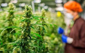 Legalización de marihuana divide a mexicanos