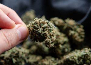 Nace en México industria de cannabis medicinal